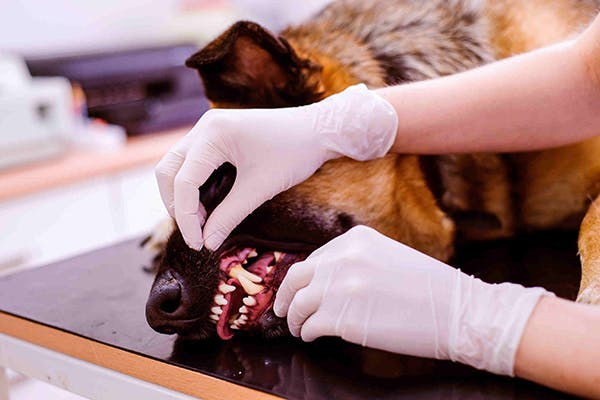 Contagious Ecthyma in Dogs - Symptoms, Causes, Diagnosis, Treatment, Recovery, Management, Cost