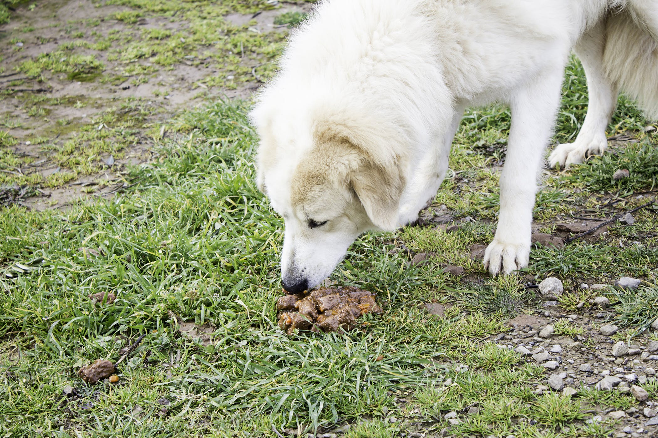 Coprophagia in Dogs - Symptoms, Causes, Diagnosis ...