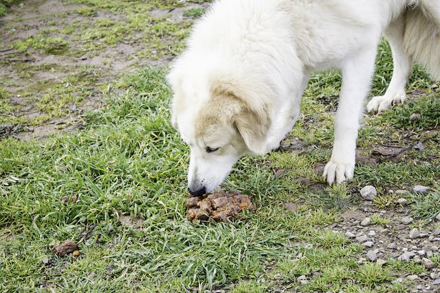 Coprophagia in Dogs - Symptoms, Causes, Diagnosis, Treatment, Recovery, Management, Cost