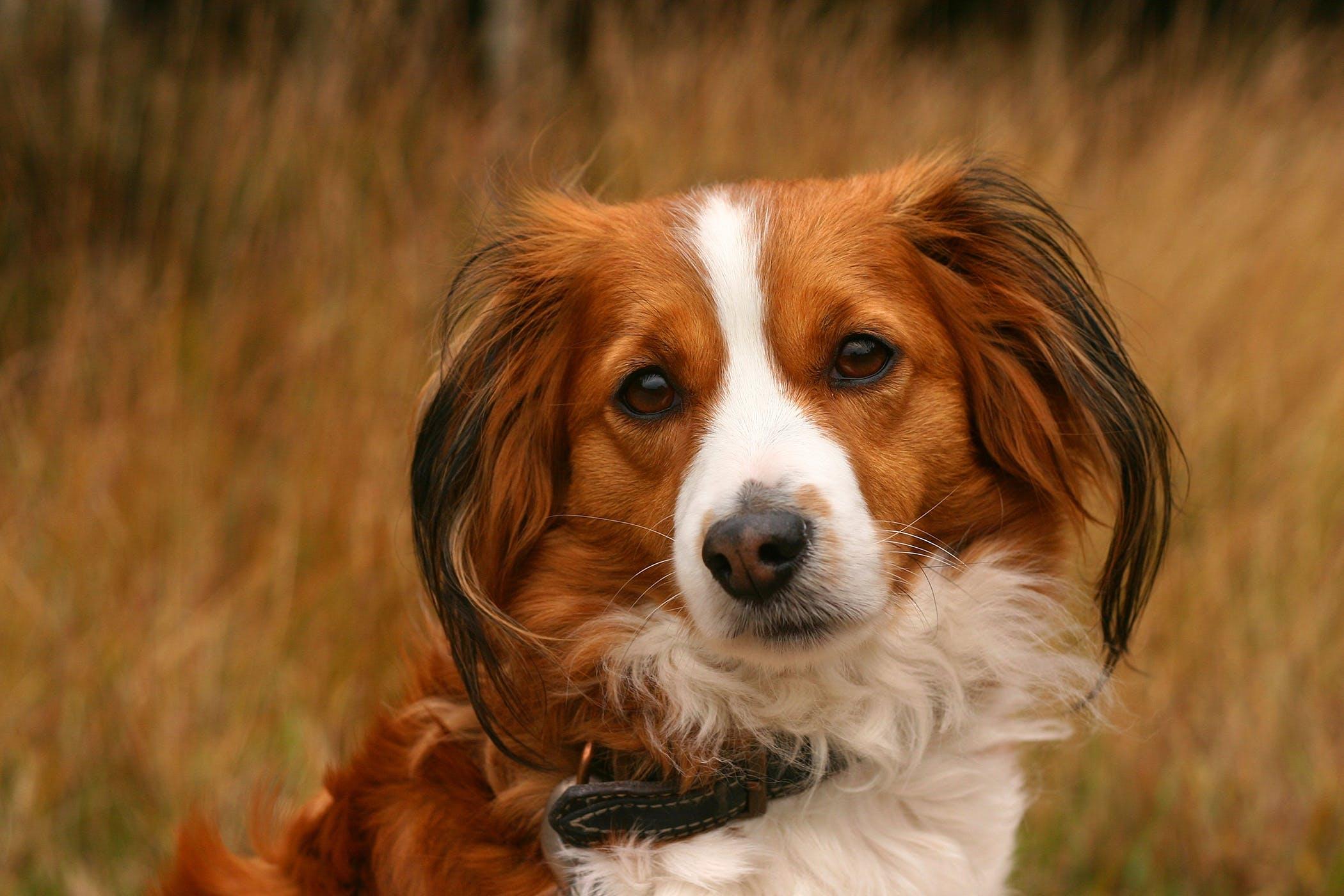 Corneal Debridement in Dogs - Procedure, Efficacy, Recovery