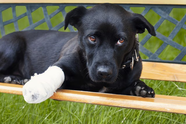 Corrective Osteotomy in Dogs - Conditions Treated, Procedure, Efficacy, Recovery, Cost, Considerations, Prevention