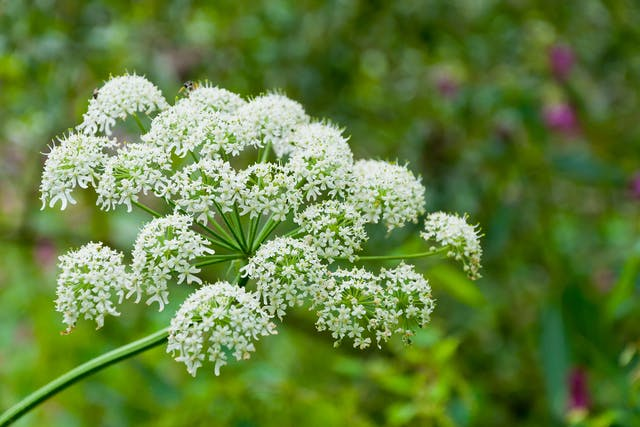 Cow Parsnip Poisoning in Dogs - Symptoms, Causes, Diagnosis, Treatment, Recovery, Management, Cost