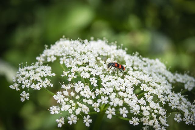 Cowbane Poisoning in Dogs - Symptoms, Causes, Diagnosis, Treatment, Recovery, Management, Cost