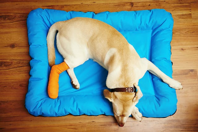 Cranial Cruciate Ligament Injury in Dogs - Symptoms, Causes, Diagnosis, Treatment, Recovery, Management, Cost
