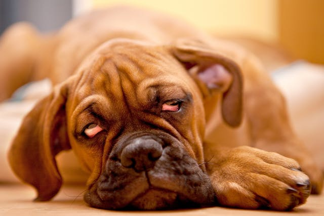 Crossed Eyes in Dogs - Symptoms, Causes, Diagnosis, Treatment, Recovery, Management, Cost
