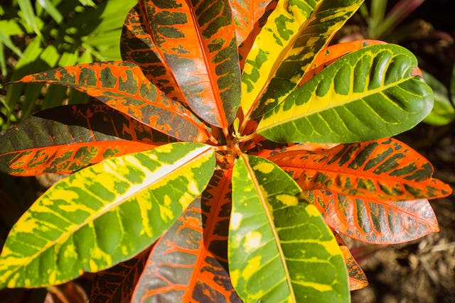 Croton Poisoning in Dogs - Symptoms, Causes, Diagnosis, Treatment, Recovery, Management, Cost