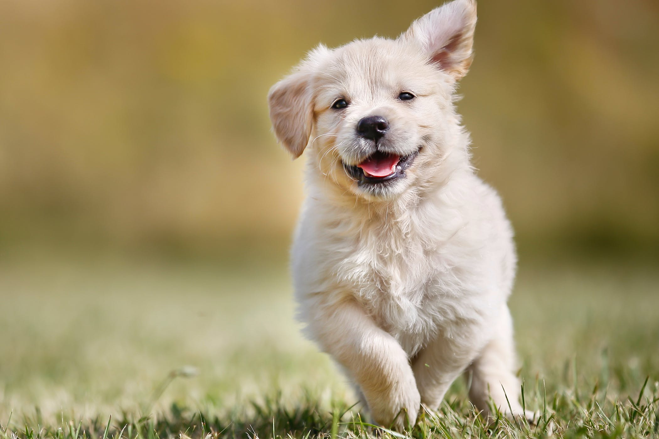Cryptorchid Neuter in Dogs
