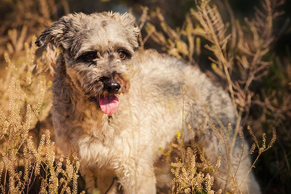 Curly Coat Dry Eye Syndrome in Dogs - Symptoms, Causes, Diagnosis, Treatment, Recovery, Management, Cost