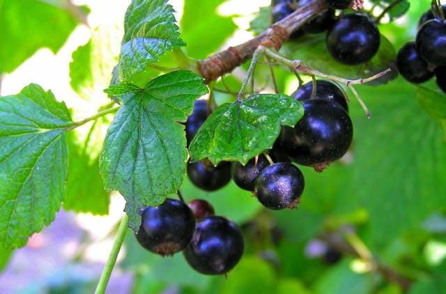 Currants Poisoning in Dogs - Symptoms, Causes, Diagnosis, Treatment, Recovery, Management, Cost