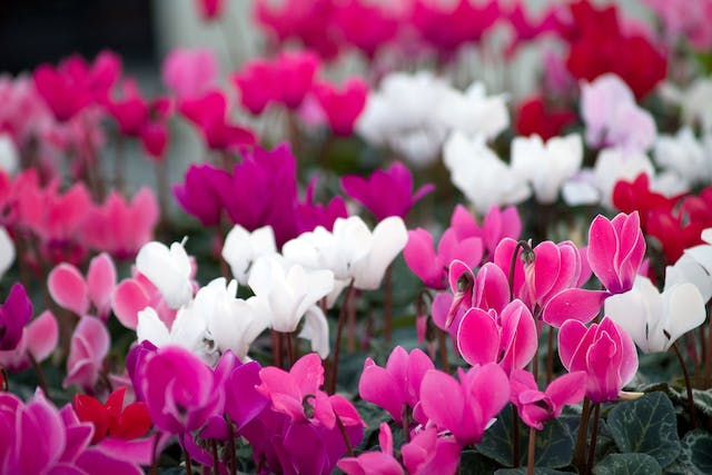 Cyclamen Poisoning in Dogs - Symptoms, Causes, Diagnosis, Treatment, Recovery, Management, Cost