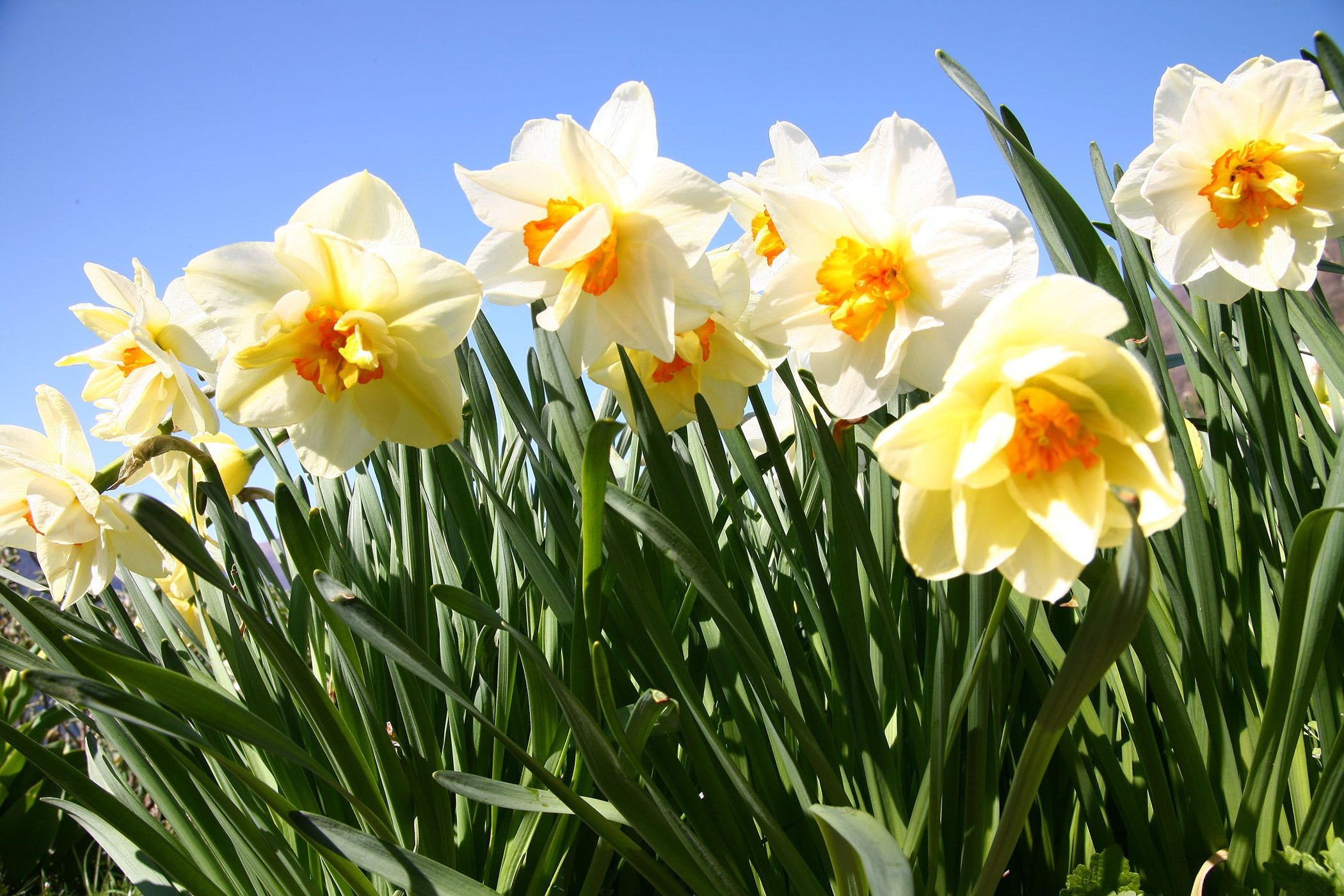 to daffodils Daffodils, also known by their botanical name narcissus, are easy and reliable spring-flowering bulbs they multiply quickly and return to bloom again each spring, year after year.