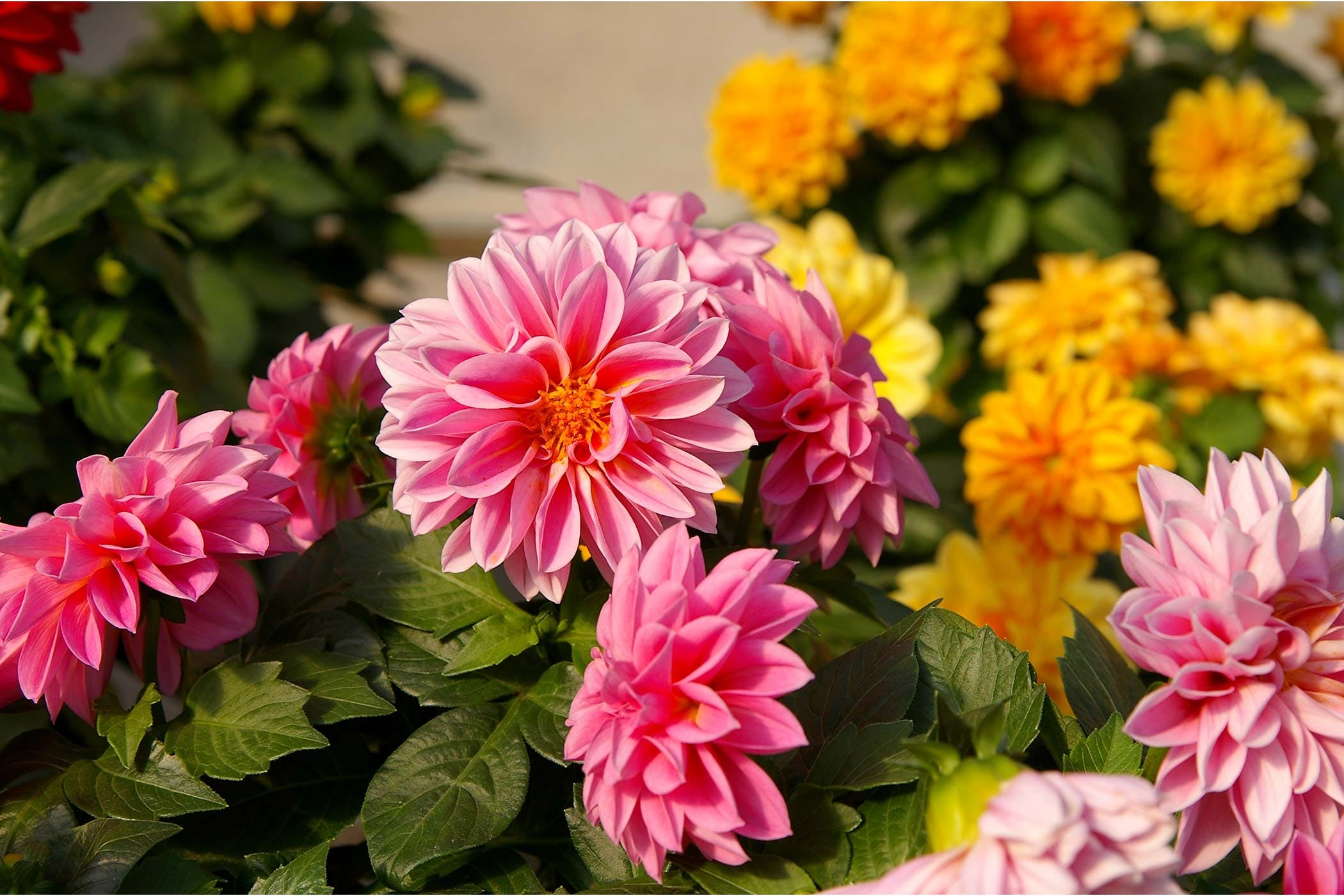 Dahlia poisoning in dogs symptoms causes diagnosis treatment dahlia poisoning in dogs izmirmasajfo