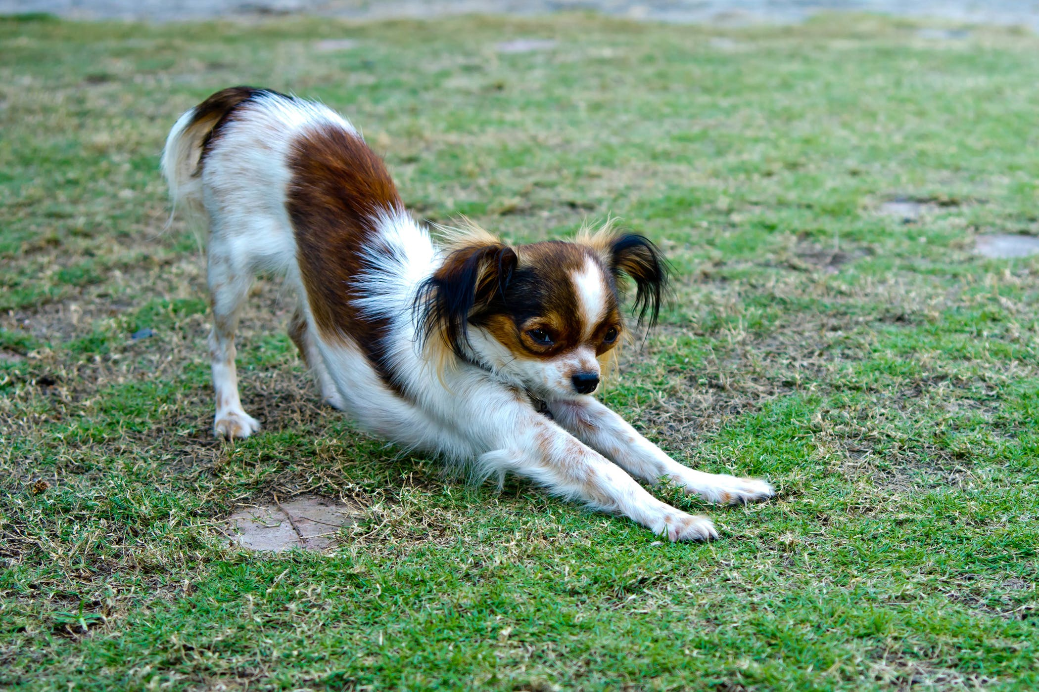 Dancing Doberman Disease In Dogs Symptoms Causes