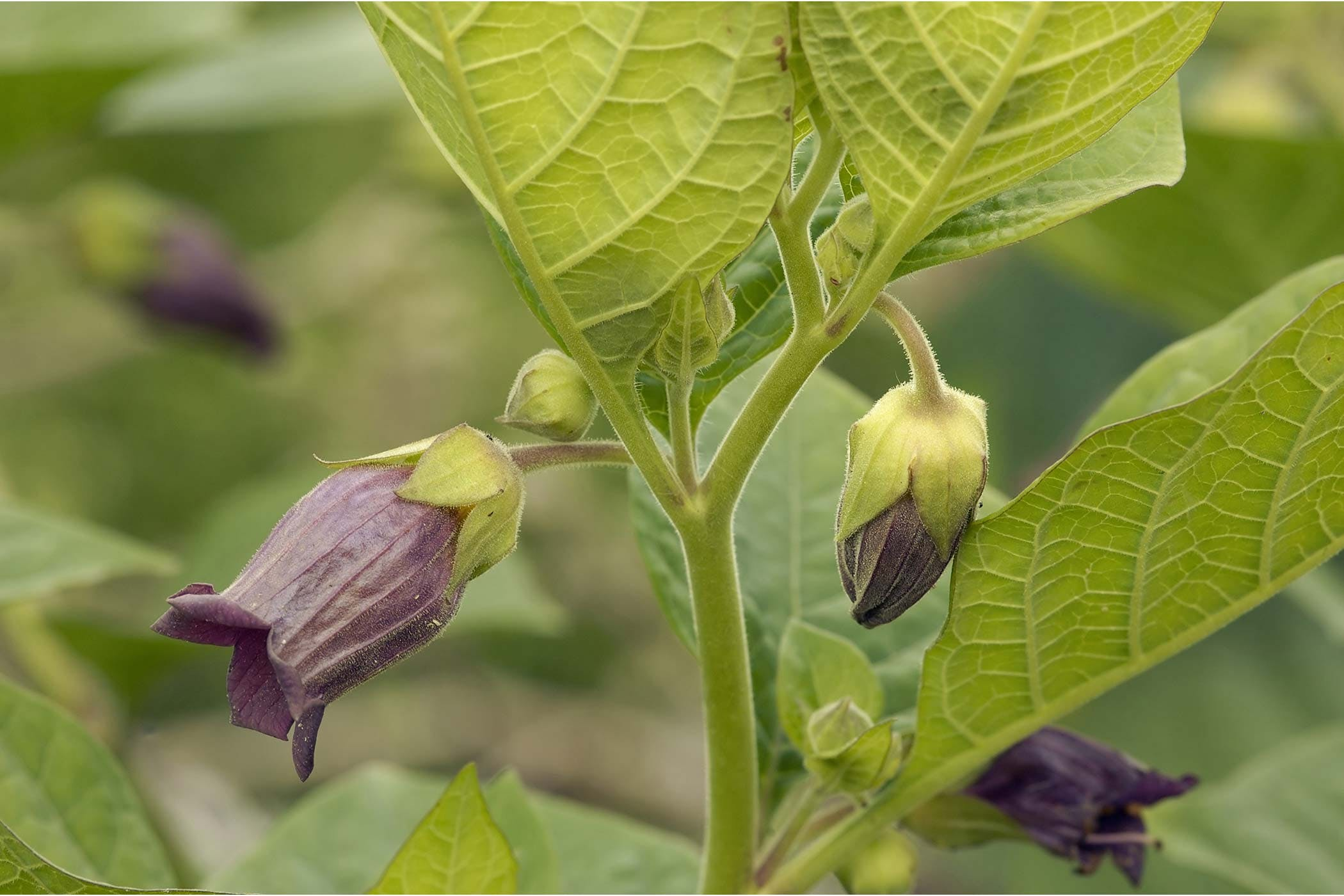 Deadly Nightshade Poisoning In Dogs Symptoms Causes Diagnosis