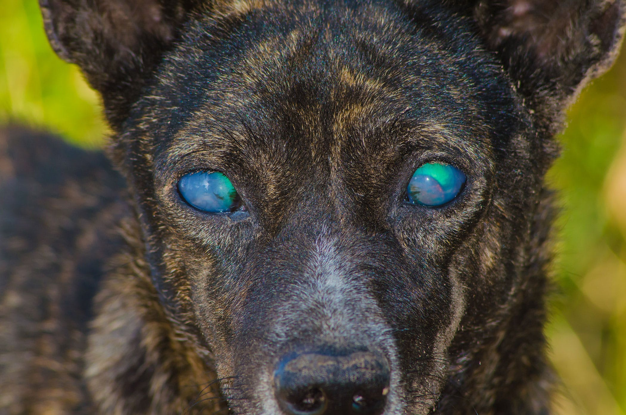 Degeneration of the Cornea in Dogs - Symptoms, Causes