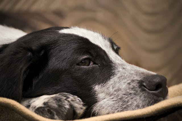 Degeneration of the Cerebellum of the Brain in Dogs - Symptoms, Causes, Diagnosis, Treatment, Recovery, Management, Cost