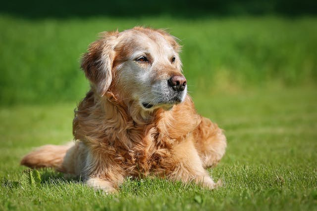 Dementia in Dogs - Symptoms, Causes, Diagnosis, Treatment, Recovery, Management, Cost