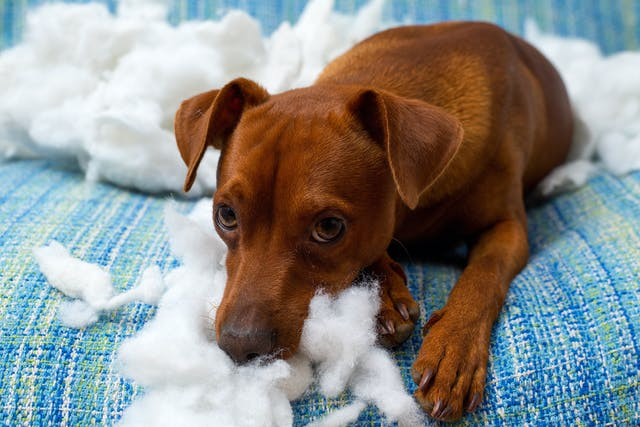 Destructive Behavior in Dogs - Symptoms, Causes, Diagnosis, Treatment, Recovery, Management, Cost