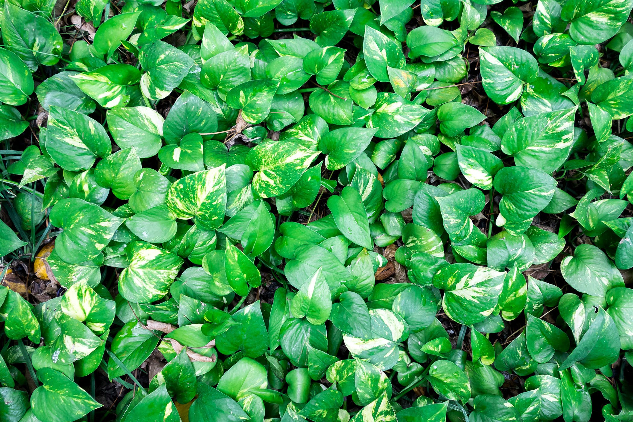 Devil S Ivy Poisoning In Dogs Symptoms Causes