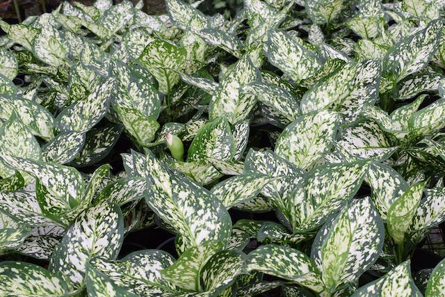 Dieffenbachia Poisoning in Dogs - Symptoms, Causes, Diagnosis, Treatment, Recovery, Management, Cost