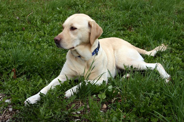 Distended Abdomen in Dogs - Symptoms, Causes, Diagnosis, Treatment, Recovery, Management, Cost
