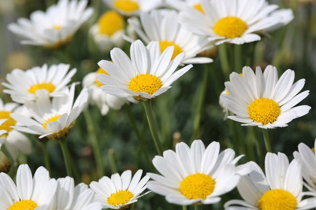 Dog Daisy Poisoning in Dogs - Symptoms, Causes, Diagnosis, Treatment, Recovery, Management, Cost