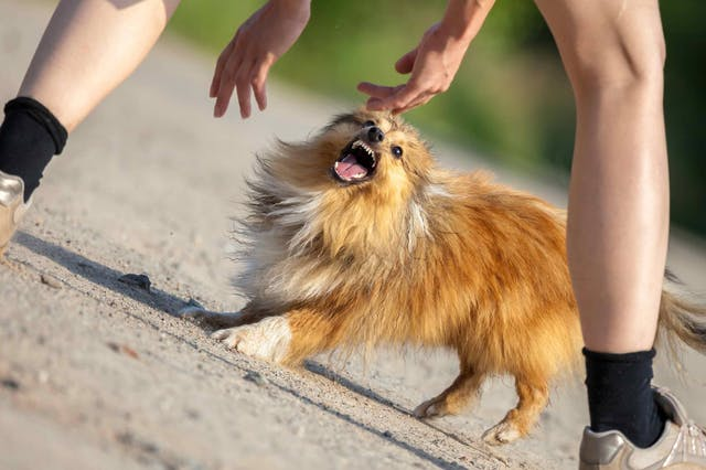 Dominance Aggression in Dogs - Symptoms, Causes, Diagnosis, Treatment, Recovery, Management, Cost