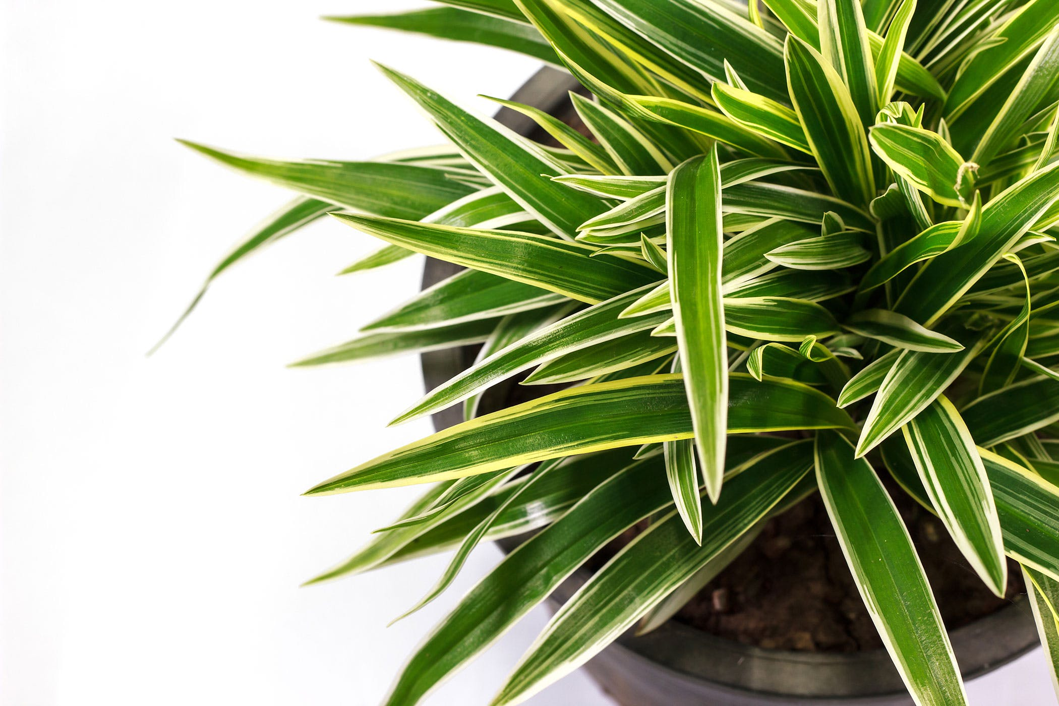 Dracaena Poisoning in Dogs