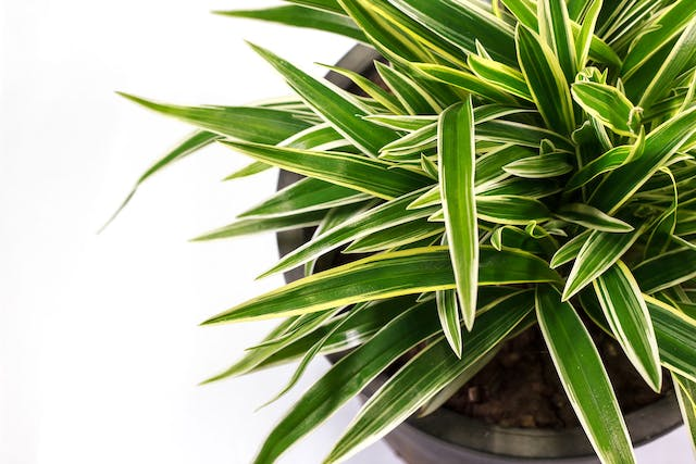 Dracaena Poisoning in Dogs - Symptoms, Causes, Diagnosis, Treatment, Recovery, Management, Cost