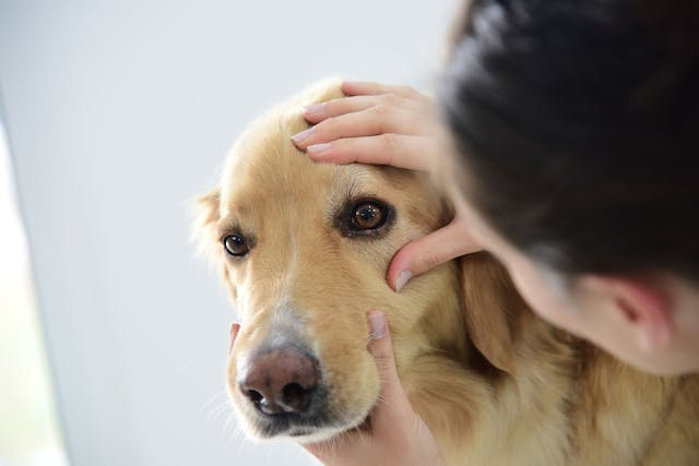 Dry Eye in Dogs - Symptoms, Causes, Diagnosis, Treatment, Recovery, Management, Cost