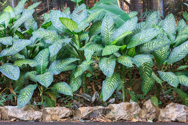 Dumbcane Poisoning in Dogs - Symptoms, Causes, Diagnosis, Treatment, Recovery, Management, Cost