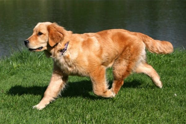 Dysbiosis (Leaky Gut) in Dogs - Symptoms, Causes, Diagnosis, Treatment, Recovery, Management, Cost