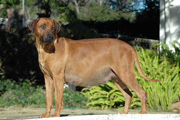 Dystocia in Dogs - Symptoms, Causes, Diagnosis, Treatment, Recovery, Management, Cost