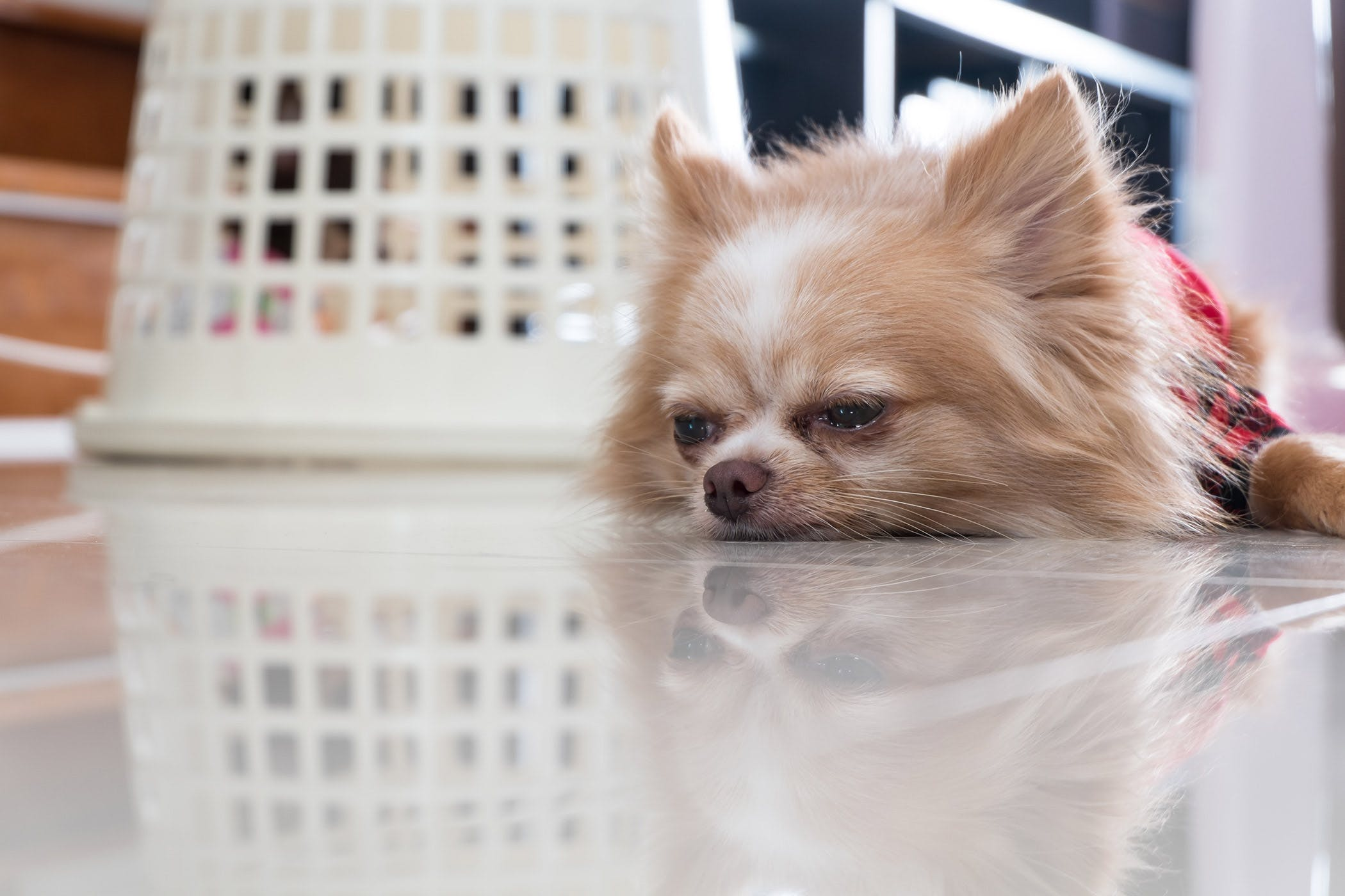 E. Coli Infection in Dogs - Symptoms, Causes, Diagnosis, Treatment ...