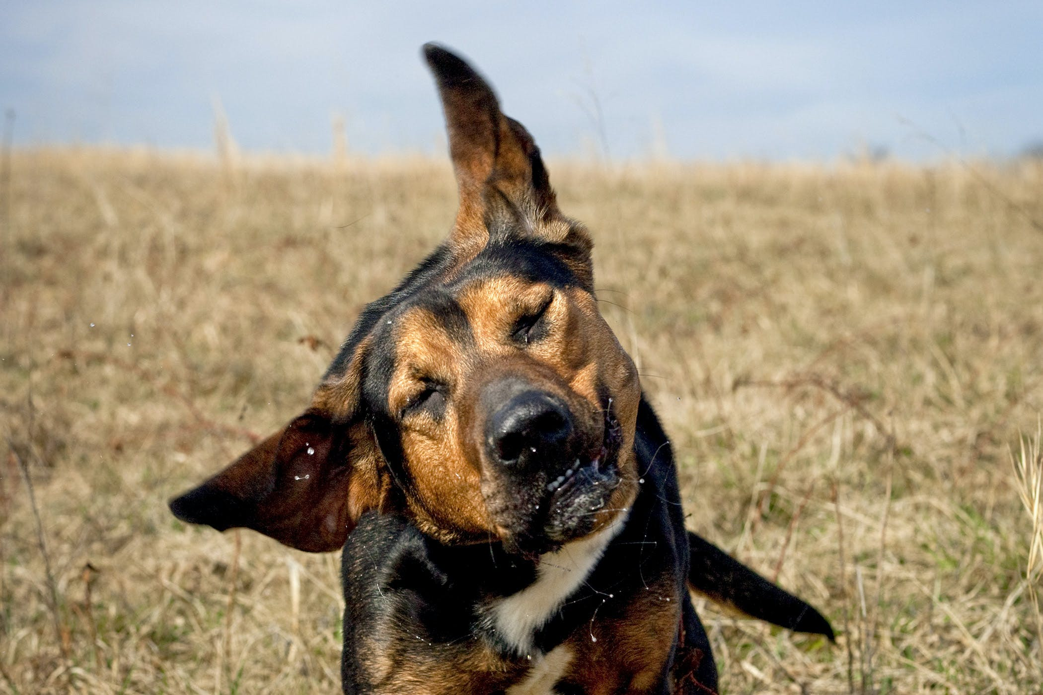 Ear Cancer in Dogs - Symptoms, Causes, Diagnosis, Treatment