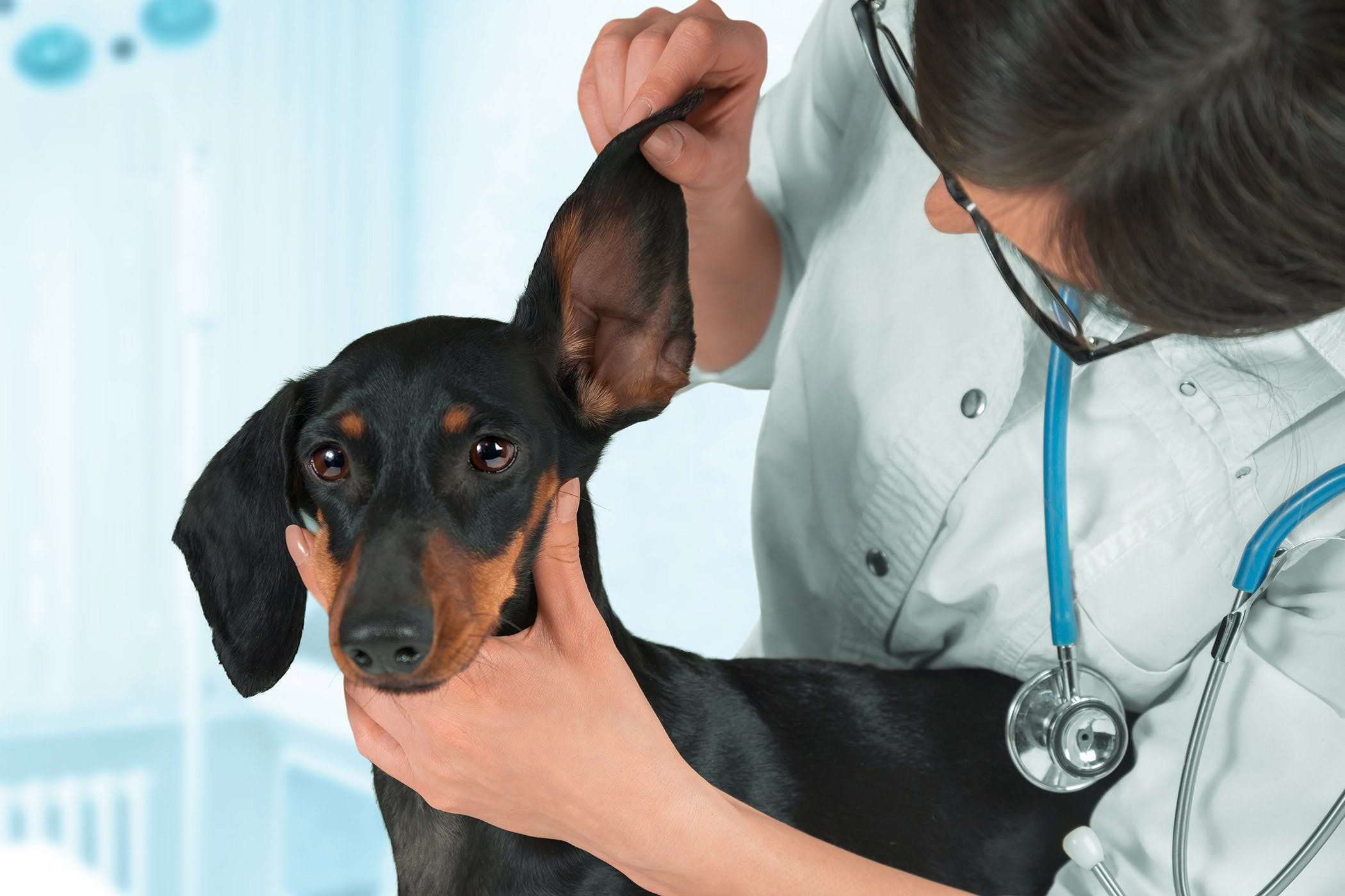Ear Hematoma in Dogs - Symptoms, Causes, Diagnosis, Treatment