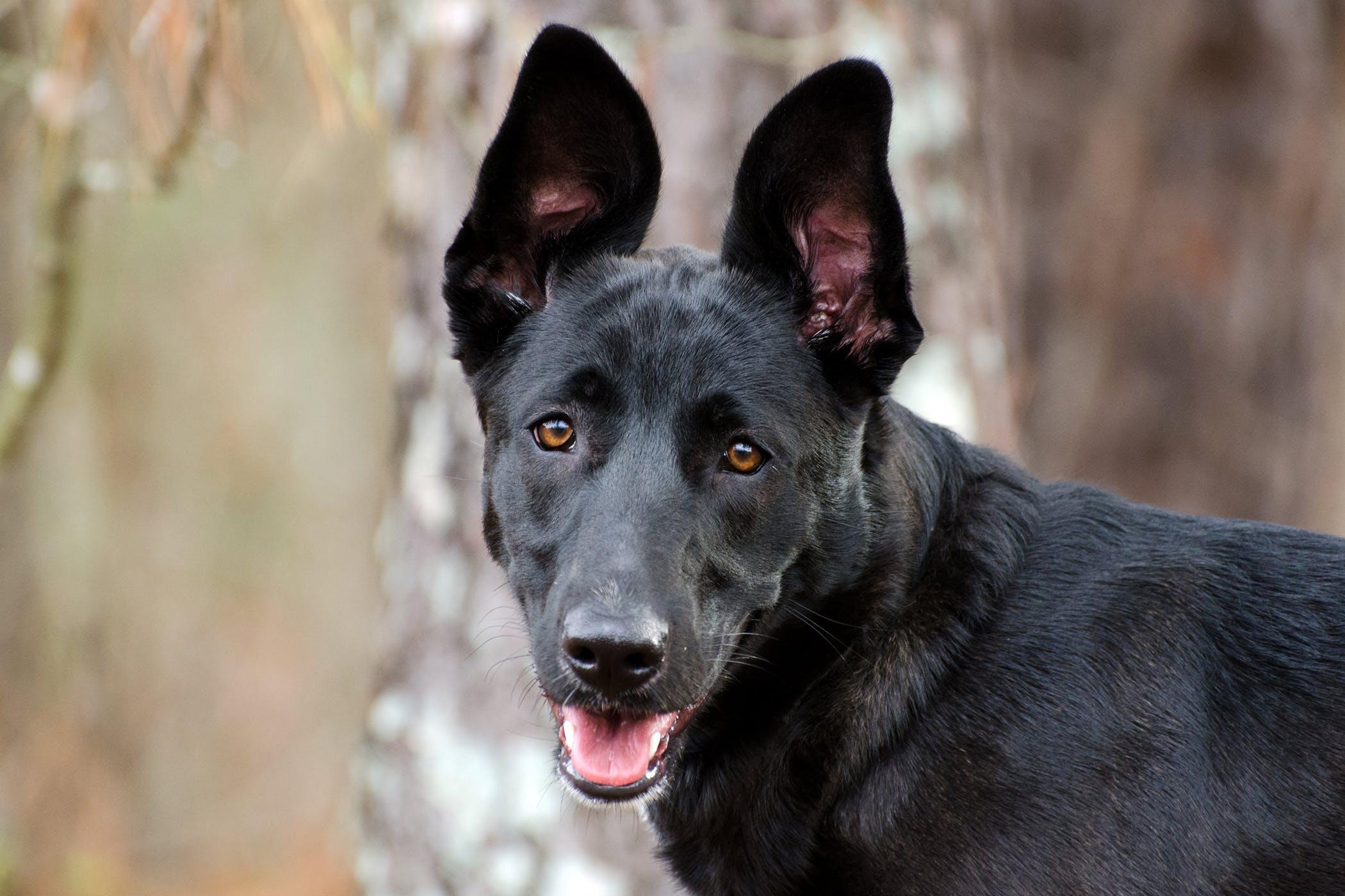 Ear Margin Hyperkeratosis in Dogs - Symptoms, Causes