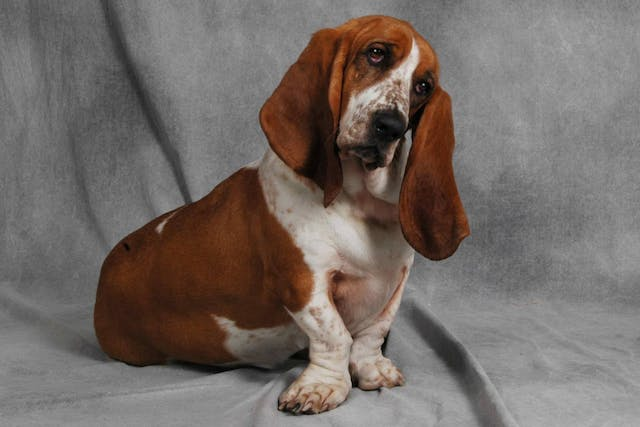 Eardrum Rupture in Dogs - Symptoms, Causes, Diagnosis, Treatment, Recovery, Management, Cost
