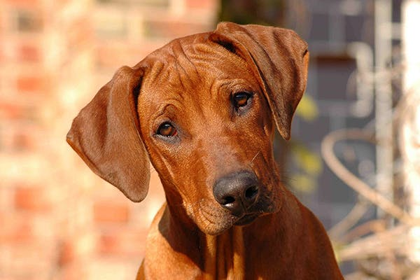 Ectopic Cilia in Dogs - Symptoms, Causes, Diagnosis, Treatment, Recovery, Management, Cost