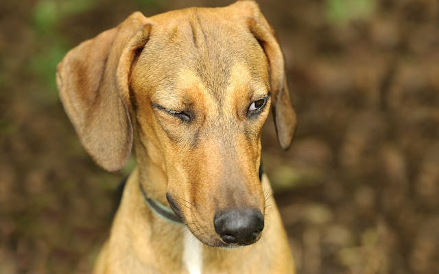 Lower Eyelid Droop in Dogs - Symptoms, Causes, Diagnosis, Treatment, Recovery, Management, Cost