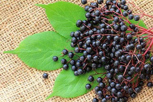 Elderberry Poisoning in Dogs - Symptoms, Causes, Diagnosis, Treatment, Recovery, Management, Cost