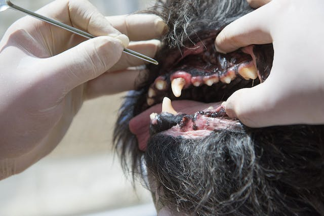 Enamel Hypoplasia and Hypocalcification in Dogs - Symptoms, Causes, Diagnosis, Treatment, Recovery, Management, Cost