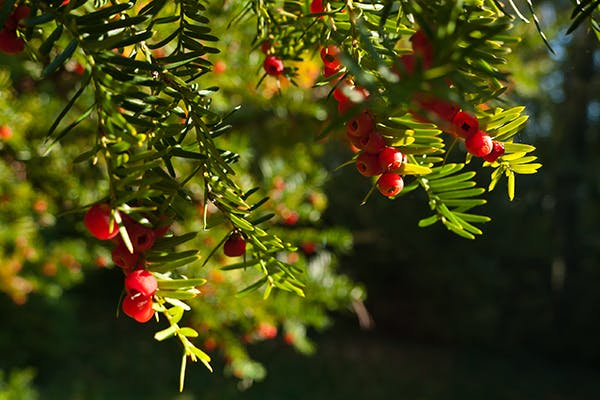 English Yew Poisoning in Dogs - Symptoms, Causes, Diagnosis, Treatment, Recovery, Management, Cost
