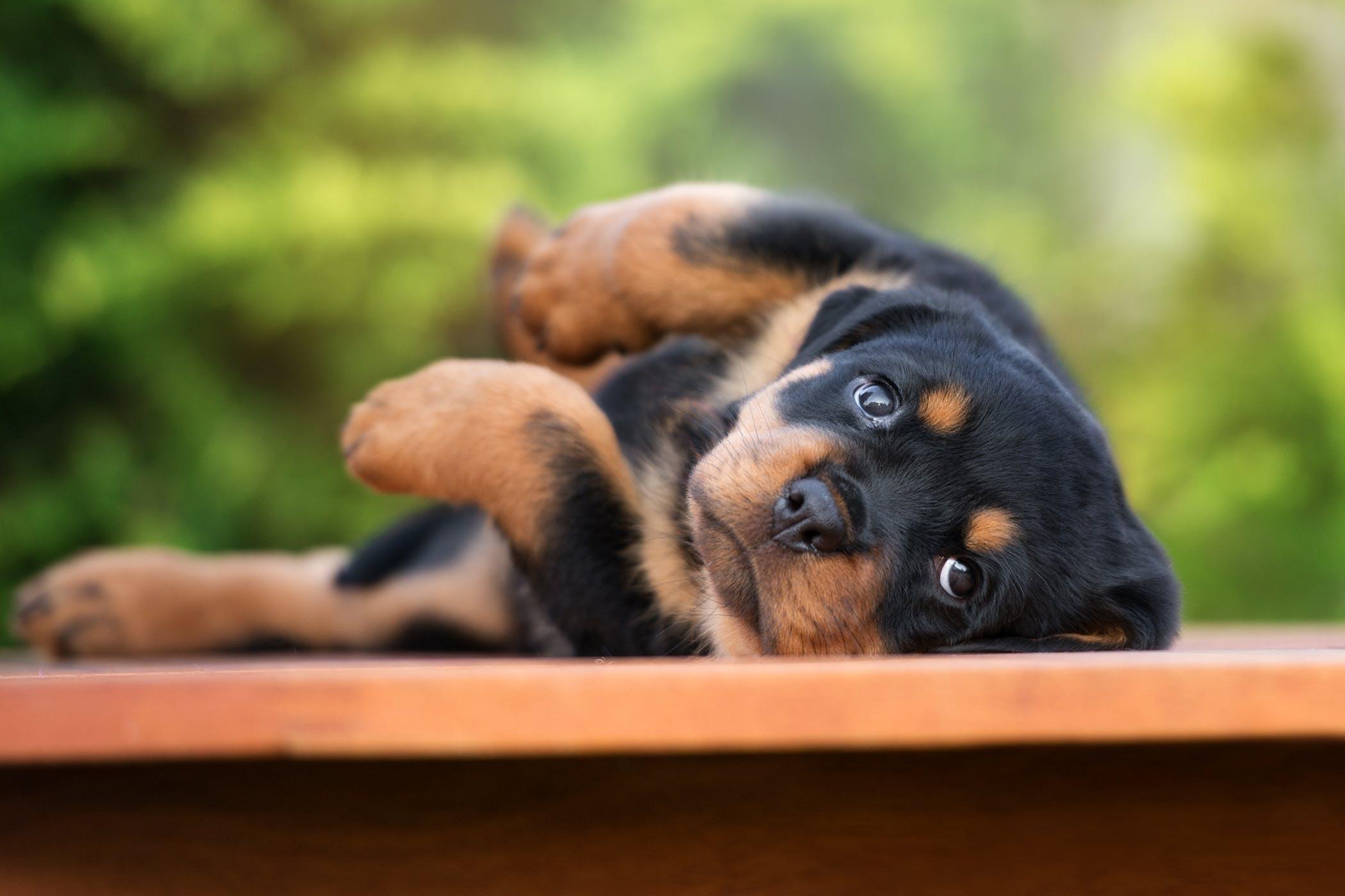Enteropexy in Dogs