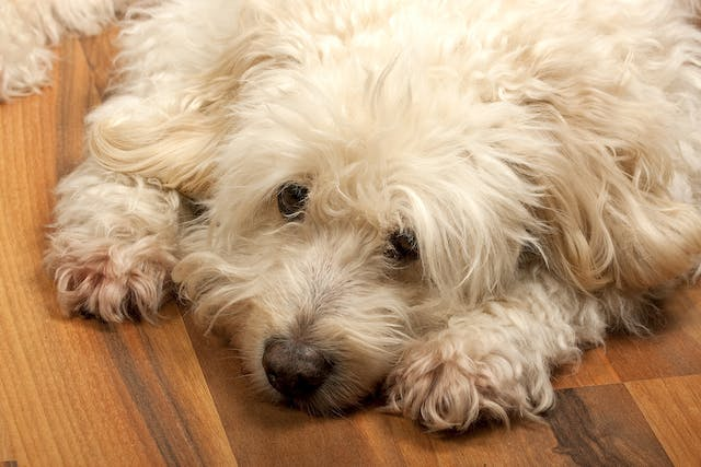 Eosinophilic Myositis in Dogs - Symptoms, Causes, Diagnosis, Treatment, Recovery, Management, Cost