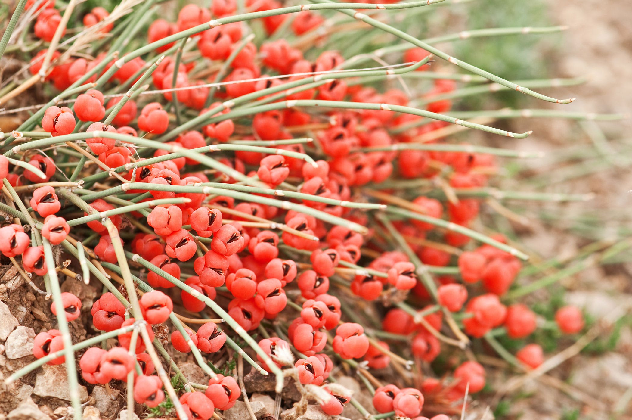 Ephedra Poisoning in Dogs - Symptoms, Causes, Diagnosis