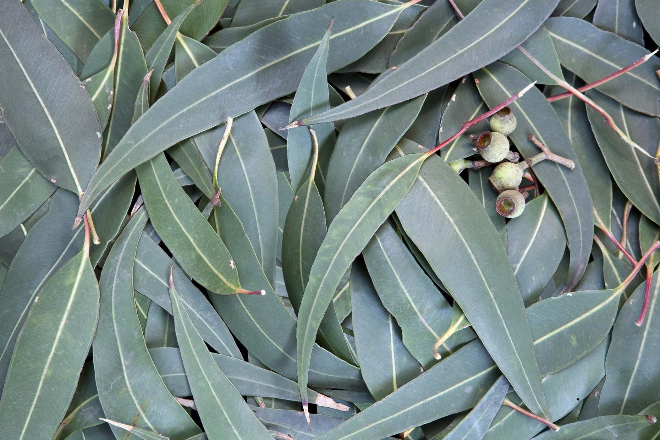 With Eucalyptus granuloma lick oil this