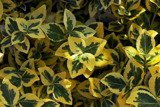Euonymus Poisoning in Dogs - Symptoms, Causes, Diagnosis, Treatment, Recovery, Management, Cost