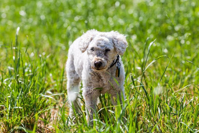 Excessive Acidity in the Blood in Dogs - Symptoms, Causes, Diagnosis, Treatment, Recovery, Management, Cost