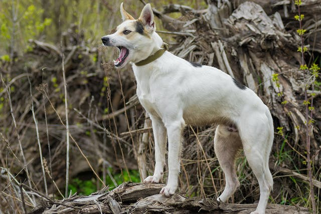 Excessive Barking in Dogs - Symptoms, Causes, Diagnosis, Treatment, Recovery, Management, Cost